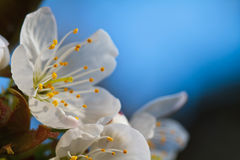 Spring Cherry Blossom. Macro Picture of a spring Cherry Blossom with blurred blue background Stock Photo