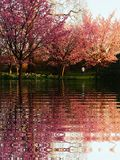 Sakura cherry blossom. Spring cherry blossom nature flower tree background pink beautiful white season bloom branch plant blooming floral garden sakura beauty stock photo