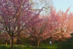 Sakura cherry blossom. Spring cherry blossom nature flower tree background pink beautiful white season bloom branch plant blooming floral garden sakura beauty stock photos