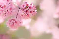 Spring cherry blossom pink flower for background usage Stock Photos