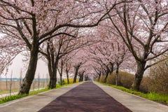 Spring Cherry Blossom Royalty Free Stock Photos