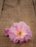 Spring Cherry Blossom on Rustic Wood Royalty Free Stock Images