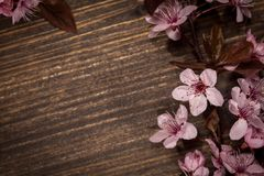 Spring cherry blossoms. Spring cherry blossom on rustic wooden backkground Royalty Free Stock Image