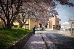 Cherry Blossoms Falling, Omihachiman, Shiga, Japan Royalty Free Stock Photos