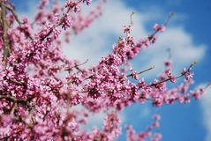 Spring Cherry Blossom Sakura iFlowers Bunch on the Tree over Blue Sky. Walpaper. Stock Image