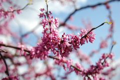 Spring Cherry Blossom Sakura iFlowers Bunch on the Tree over Blue Sky. Walpaper. Stock Images