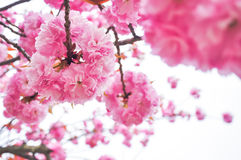 Spring cherry blossom with soft focus closeup. Beautiful spring cherry blossom with soft focus closeup Stock Photo