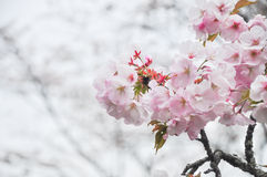 Spring cherry blossom with soft focus closeup. Beautiful spring cherry blossom blur background soft focus closeup Stock Photo