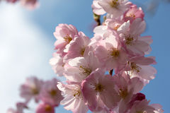 Spring cherry blossom in the sunlight Royalty Free Stock Photo