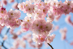 The Spring cherry blossom in the sunshine Royalty Free Stock Image