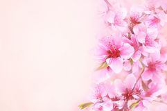 Spring cherry blossom, springtime blossoming flowers royalty free stock photo