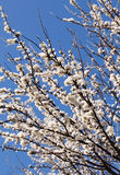 Spring cherry blossom tree on a sunny march day on a blue sky Royalty Free Stock Photos