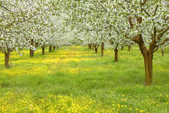 Spring cherry blossom trees Stock Image