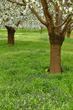 Spring cherry blossom trees Royalty Free Stock Image