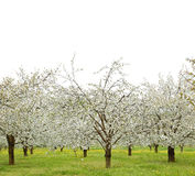 Spring cherry blossom trees Royalty Free Stock Photography