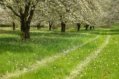 Spring cherry blossom trees Royalty Free Stock Images