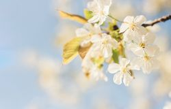 Spring cherry blossom, vibrant blue sky and flower background royalty free stock image