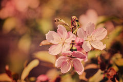 Spring cherry blossom vintage background in pastel tones Stock Photo