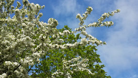 Spring cherry blossom, white flowers on a tree Royalty Free Stock Photography