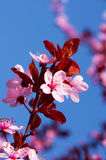 Spring cherry blossoms. On pink and blue background Royalty Free Stock Photo