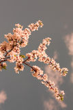Spring cherry blossoms Royalty Free Stock Images