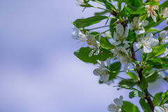 Spring cherry blossoms Royalty Free Stock Photography