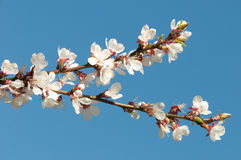 Spring. Cherry blossoms against the sky Stock Photography