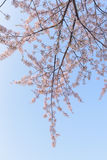 Spring Cherry blossoms background Stock Photos