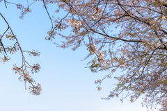 Spring Cherry blossoms background Royalty Free Stock Images