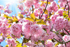 Spring cherry blossoms background Royalty Free Stock Photos