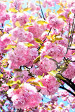 Spring cherry blossoms background Stock Photo