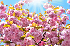 Spring cherry blossoms background Stock Photography