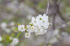 Spring Cherry blossoms Royalty Free Stock Photos