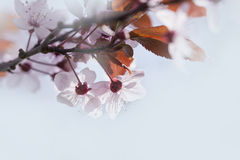Spring cherry blossoms Stock Photo