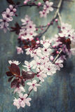 Spring Cherry blossoms Stock Images