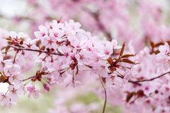 Spring cherry blossoms Stock Photos