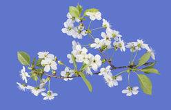 Spring cherry blossoms on  blue Stock Photos