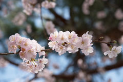 Spring Cherry blossoms. With bokeh background Stock Photo