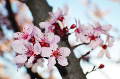 Spring Cherry Blossoms. A bunch of cherry blossoms on a branch stock photo