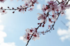 Spring Cherry Blossoms. A bunch of cherry blossoms on a branch royalty free stock image
