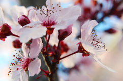 Spring Cherry Blossoms. Close up of Spring Cherry Blossoms in a bunch Stock Photo