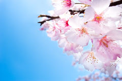 Spring cherry blossoms closeup, pink and white flo royalty free stock photos