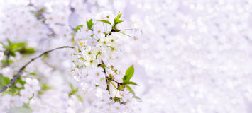 Spring cherry blossoms closeup, white flower on blurred backgrou Royalty Free Stock Images