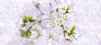 Spring cherry blossoms closeup, white flower on blurred backgrou Stock Photography