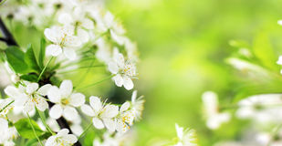 Spring cherry blossoms closeup, white flower on blurred green ba Royalty Free Stock Image