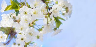 Spring cherry blossoms closeup, white flower sunny day, against Royalty Free Stock Images