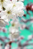 Spring cherry blossoms closeup, white flower sunny day, backgrou Royalty Free Stock Images