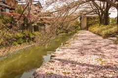 Sakura Petals Covering Ground, Omihachiman Moat, Shiga royalty free stock photography