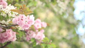 Spring cherry blossoms. Flowers in tree stock video footage