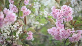 Spring. Cherry blossoms - flowers in tree stock video